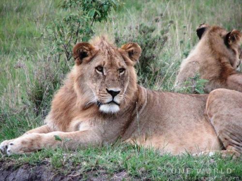 Löwen in Tansania