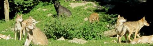 Wolfsrudel im Wildpark
