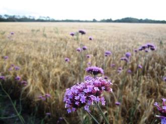Blumen vor dem Feld